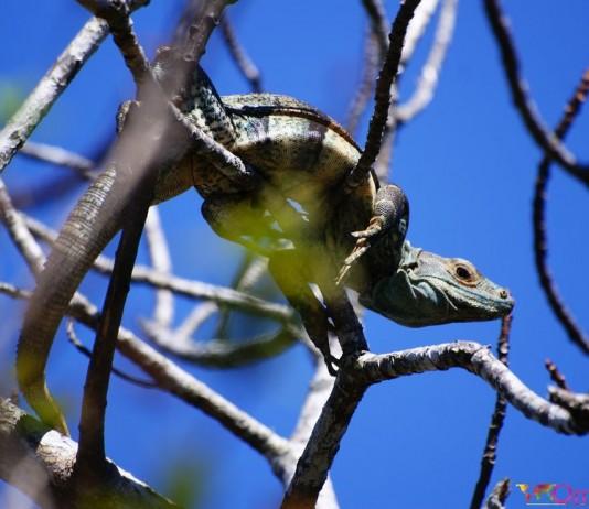 Costa Rica - Liberia - Parc Ricon de la Vieja - Iguane